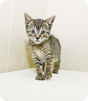 Domestic Shorthair Kitten for adoption in New York, New York - Petunia