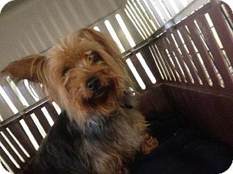 Yorkie, Yorkshire Terrier Mix Dog for adoption in Detroit Lakes, Minnesota - Walker