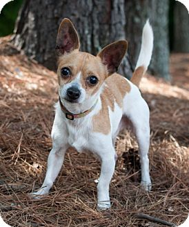 Chihuahua/Terrier (Unknown Type, Small) Mix Dog for adoption in Atlanta, Georgia - Jack