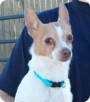 Chihuahua Mix Dog for adoption in Martinsville, Indiana - Brody