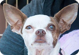 Chihuahua Dog for adoption in San Marcos, California - Mila