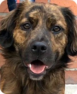 Spaniel (Unknown Type) Mix Dog for adoption in Los Angeles, California - TOKYO (VIDEO)