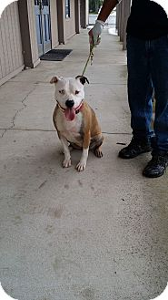Pit Bull Terrier/Bulldog Mix Dog for adoption in Huntington, Indiana - Zoei