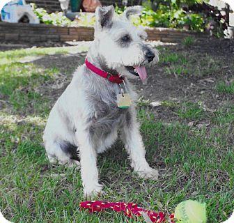 Miniature Schnauzer Dog for adoption in Sharonville, Ohio - Maxwell~~ADOPTION PENDING