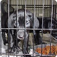 Adopt A Pet :: Dara - Jamestown, TN