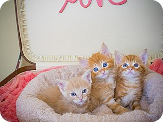 Domestic Shorthair Kitten for adoption in Los Angeles, California - Calou