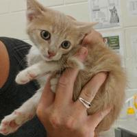 Domestic Mediumhair/Domestic Shorthair Mix Cat for adoption in Auburn, Alabama - Corey