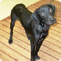 Labrador Retriever Mix Dog for adoption in Eastpoint, Florida - Tyson