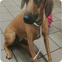 Adopt A Pet :: Zelda - Chippewa Falls, WI
