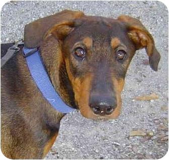 Doberman Pinscher Mix Puppy for adoption in Montevallo, Alabama - Morgana