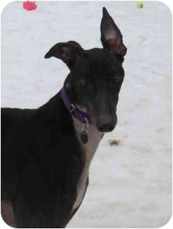 Greyhound Dog for adoption in Chagrin Falls, Ohio - Marshall (Iruska Marshall)