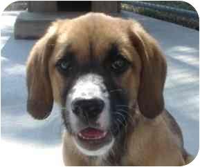 St. Bernard/Shepherd (Unknown Type) Mix Puppy for adoption in Naperville, Illinois - Sammy-Adoption Pending