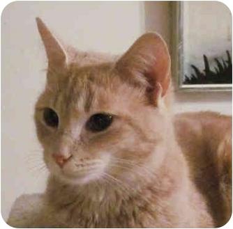 Domestic Shorthair Cat for adoption in Washington, Pennsylvania - Skyler