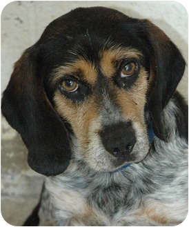Beagle Mix Dog for adoption in Ripley, Tennessee - Earl  (0923)