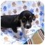 Photo 1 - Chihuahua/Rat Terrier Mix Puppy for adoption in Rochester, New Hampshire - Tiny