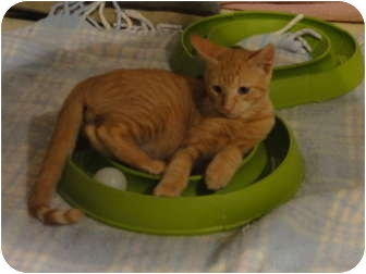 Domestic Shorthair Kitten for adoption in Barnegat, New Jersey - Harley