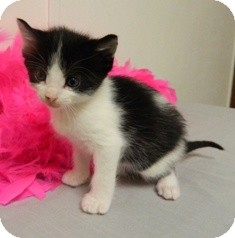 Domestic Shorthair Kitten for adoption in Columbus, Nebraska - Domino