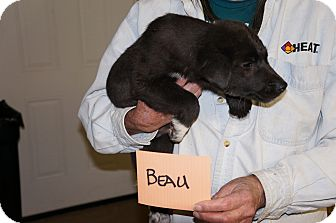 Catahoula Leopard Dog/Border Collie Mix Puppy for adoption in Conway, Arkansas - Beau