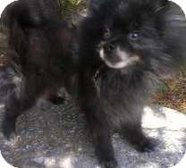 Pomeranian Dog for adoption in St. Petersburg, Florida - Koda