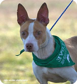 Ibizan Hound Mix Dog for adoption in Hatifeld, Pennsylvania - Rudy