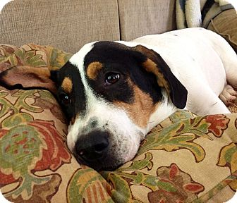 Beagle/Hound (Unknown Type) Mix Dog for adoption in CHICAGO, Illinois - GEORGE