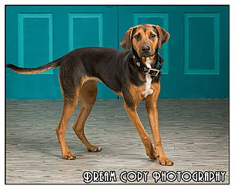 Beagle Mix Dog for adoption in Owensboro, Kentucky - Pumpkin