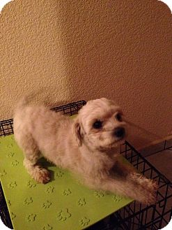 Poodle (Miniature) Mix Dog for adoption in Vista, California - Sophia