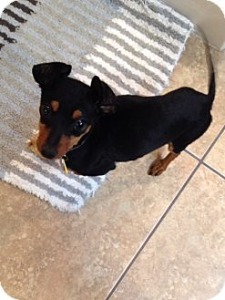 Miniature Pinscher/Dachshund Mix Puppy for adoption in Las Vegas, Nevada - Ace