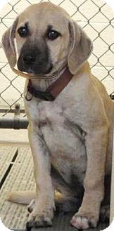 Anatolian Shepherd Mix Puppy for adoption in Jacksonville, Arkansas - Runt