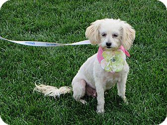 Poodle (Miniature)/Maltese Mix Dog for adoption in Stockton, California - **LAUREL**