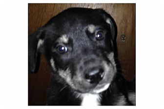 Shepherd (Unknown Type) Mix Puppy for adoption in Pompton Lakes, New Jersey - Olaf