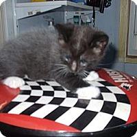 Adopt A Pet :: Domino - Chicago, IL