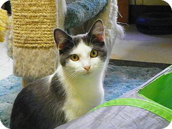 Domestic Shorthair Kitten for adoption in Morgantown, West Virginia - Xena