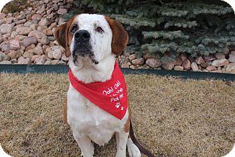 St. Bernard Dog for adoption in Denver, Colorado - Martin