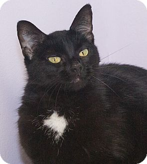 Domestic Shorthair Cat for adoption in Elmwood Park, New Jersey - Candy