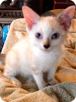 Siamese Kitten for adoption in McDonough, Georgia - Brittney
