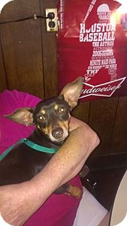 Miniature Pinscher Mix Dog for adoption in Jarrell, Texas - Gibson