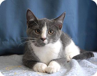 Domestic Shorthair Cat for adoption in Winchendon, Massachusetts - Buzz