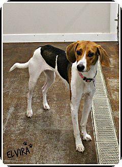 Coonhound Mix Dog for adoption in Dunkirk, New York - Elvira (Ellie)