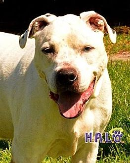 American Bulldog Dog for adoption in Sebastian, Florida - Kaden