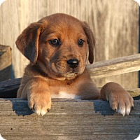 Adopt A Pet :: *Ellie - PENDING - Westport, CT