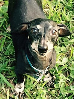 Dachshund Dog for adoption in Pearland, Texas - Ruger