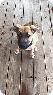 German Shepherd Dog/Labrador Retriever Mix Puppy for adoption in Charlotte, North Carolina - Saba (Balto Litter)
