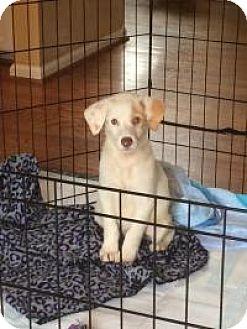 Golden Retriever Mix Puppy for adoption in Marlton, New Jersey - Butterscotch