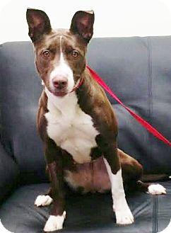 American Staffordshire Terrier/Australian Cattle Dog Mix Dog for adoption in Snohomish, Washington - Brandi-darling bully babe!