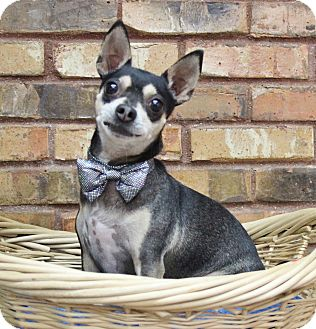 Chihuahua Mix Dog for adoption in Benbrook, Texas - Stormy