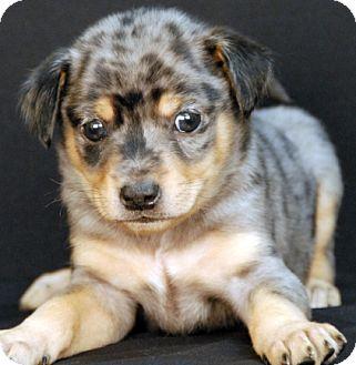 Australian Cattle Dog Mix Puppy for adoption in Newland, North Carolina - Bubbly