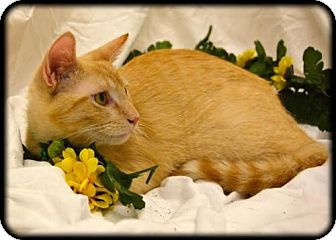 Domestic Shorthair Cat for adoption in Orlando, Florida - Fiero