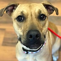 Pit Bull Terrier/American Pit Bull Terrier Mix Puppy for adoption in Dayton, Ohio - Lancome
