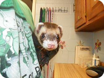 Ferret for adoption in Lowell, Massachusetts - Valentino